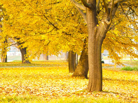 fall scenery: fall leaves trees