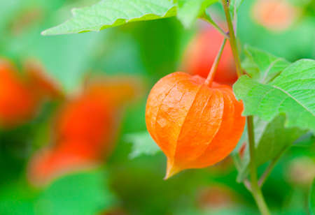 alkekengi: Chinese Lanterns in the nature, Physalis alkekengi