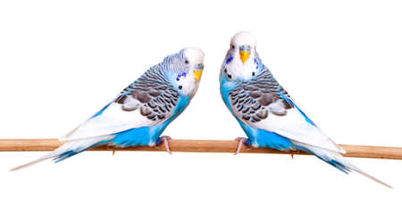 budgie: budgerigar on white background