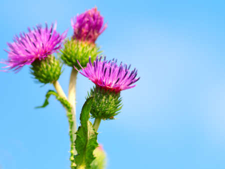 burdock: bur thorny flower. (Arctium lappa) on blue sky