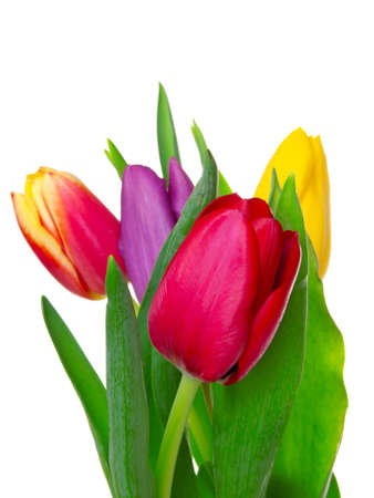 tulipa: tulips on isolated background