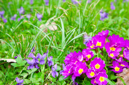 primula: beautiful primulas flowers on green grass background Stock Photo