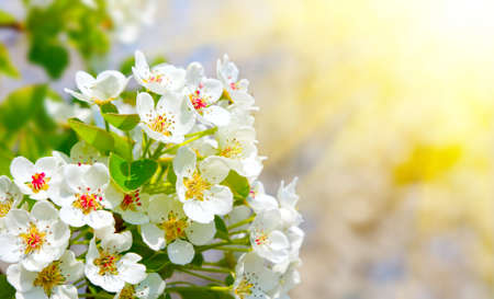 Apple bloom with sunlight, close-up Stock Photo
