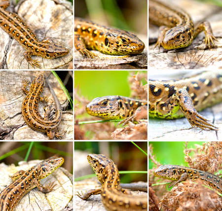 lacerta: set of Sand Lizard (Lacerta agilis) Stock Photo