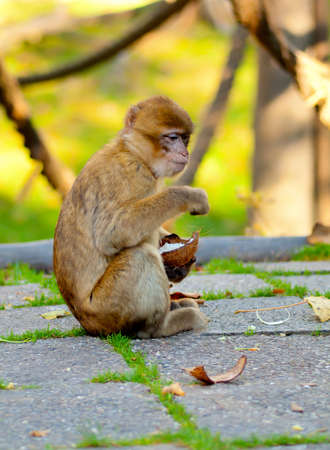 barbary ape: Barbary macaque eating coconut