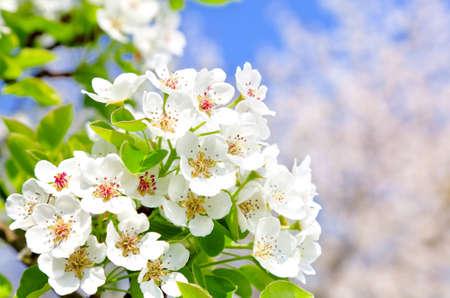 apple blossom: Apple bloom