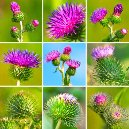 burdock: assortment of bur thorny flower. (Arctium lappa)