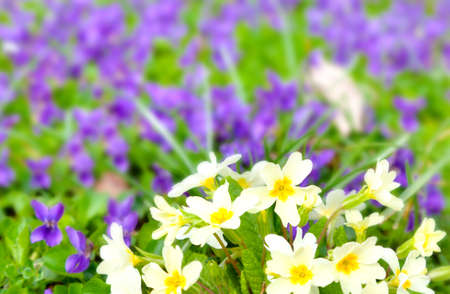 primulas: beautiful primulas on green grass, in the spring Stock Photo