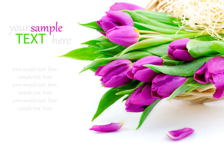 Pink tulips on white background  with sample text  photo