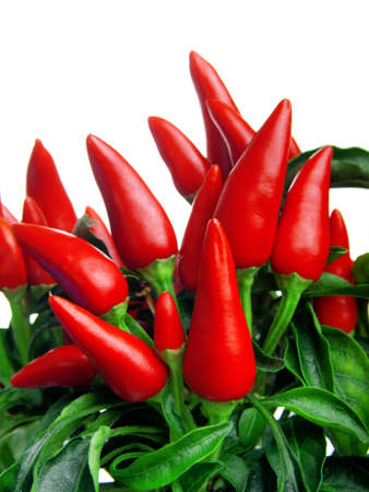 red chilly: plant of red hot chili pepper, on white background