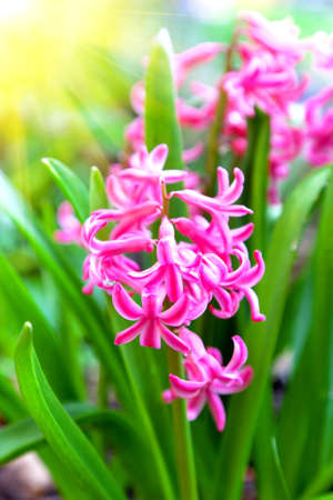 Spring blooming hyacinth in butchart gardens photo