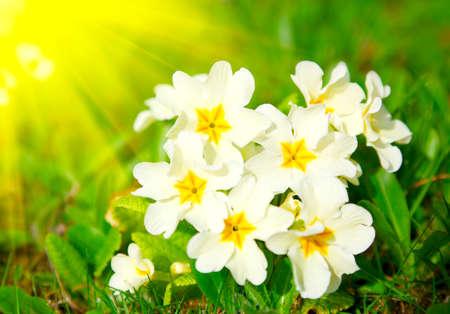 primulas: beautiful primulas on green grass background