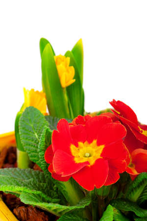 Red flowering potted primrose, isolated on white photo