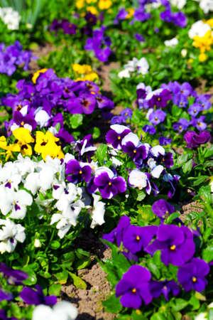 petunia: Variety of petunias