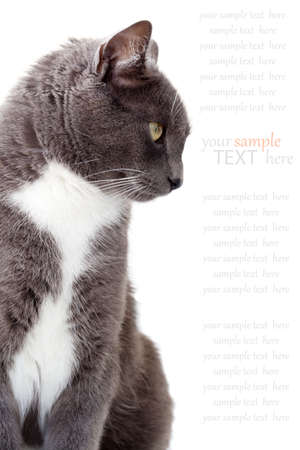 grey cat  Copy space  Isolated on white background Stock Photo - 12932032