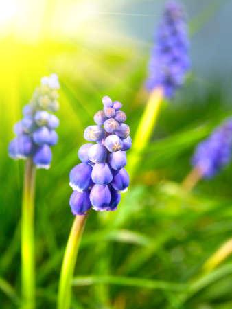 Bluebells flower  Grape Hyacinth, Muscari armeniacum   photo