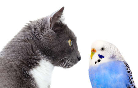 budgie: grey cat with blue budgerigar  Isolated on white background Stock Photo