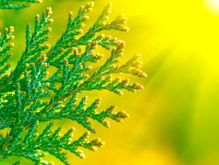 American Arborvitae  cypress tree ,  macro photo