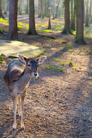 whitetail doe in a forest in the springtime photo