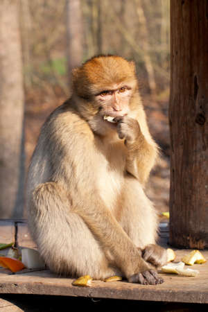 macaque eating a fruits photo