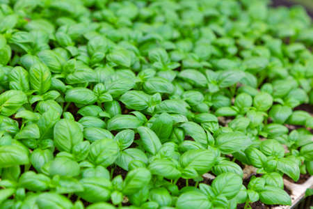 green leaves of fresh basil  used in cooking in Italy photo