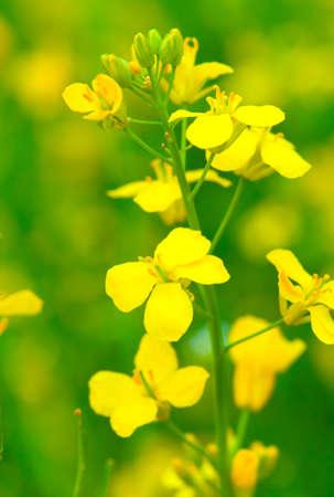 colza: Colza Brassica rapa flor de violaci�n en el campo