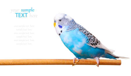 budgie: budgerigar on white background,  with with room for text
