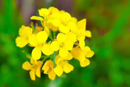 canola plant: Colza (Brassica rapa). Rape flower on field