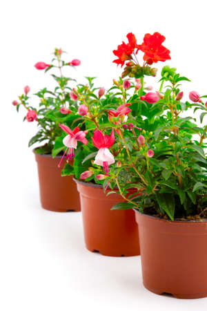 pelargonium: blooming fuchsia and geranium in the pot, isolated on a white background