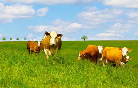 Cow on a green pasture Stock Photo - 13796206