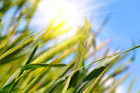 peasant: wheat harvest on blue sky with sun Stock Photo
