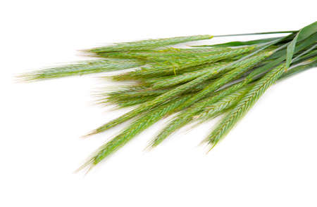 Green rye spikes (Secale cereale), on white background photo