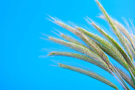 Green rye spikes  Secale cereale , on blue background photo
