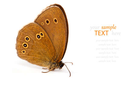 Ringlet butterfly  Aphantopus hyperantus , isolated on white background Stock Photo - 14550801