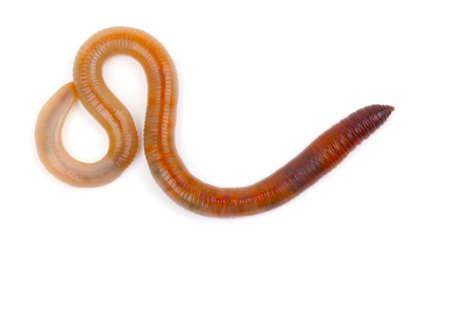 lombriz: Animal lombriz de tierra en el fondo blanco
