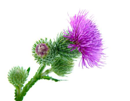 白い背景とゴボウの花序 写真素材