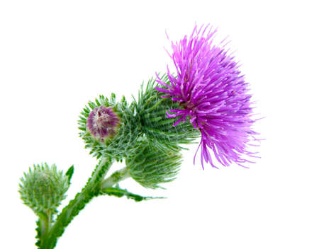 thistle plant: Inflorescence of Greater Burdock  on white background Stock Photo
