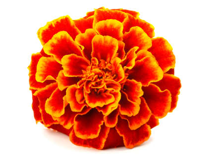 tagetes: red Marigold  Tagetes  isolated on white Stock Photo