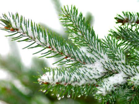 evergreen tree: Christmas tree on white background