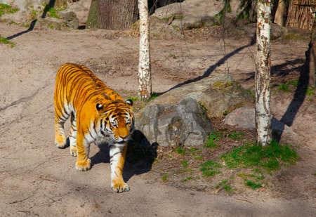 ussuri: Siberian Tiger (Panthera tigris altaica)