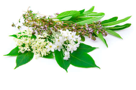 elder tree: bunch of herbs   sage, thyme, Elderflower, Sambucus  isolated on white background