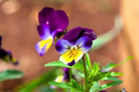 violas: Violas and Pansies Close Up in a Garden