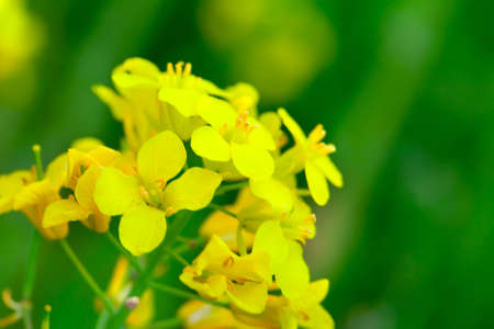 nice weather: rapeseed in the green field