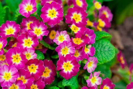 primrose: Perennial primrose or primula in the spring garden  Stock Photo