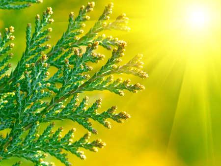 thuja: American Arborvitae (cypress tree),  macro with sun.