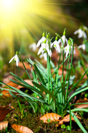 Close up of snowdrops spring with sun. Stock Photo - 17272118