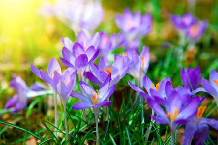 mild: Spring purple crocus flowers with sunlight Stock Photo
