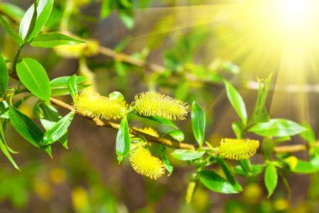 salix: macro shot of blooming willow tree. Salix caprea. summertime