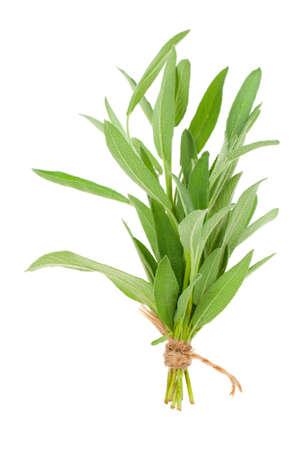 salvia: green sage plant, isolated on white background. Stock Photo