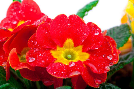 polyanthus: Red flowering potted primrose, isolated on white